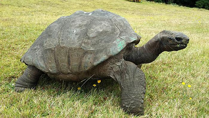 182-year-old-tortoise-jonathan-12