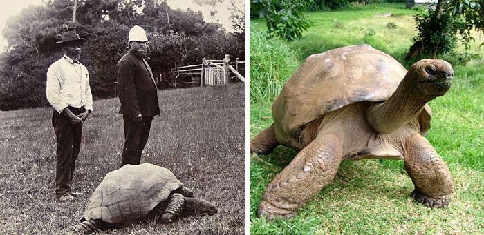 182-year-old-tortoise-jonathan-15