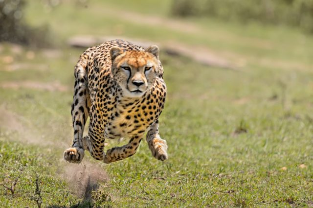 A female cheetah chasing down her prey, a baby Impala, Mara Masai Game Reserve, Kenya, Africa.