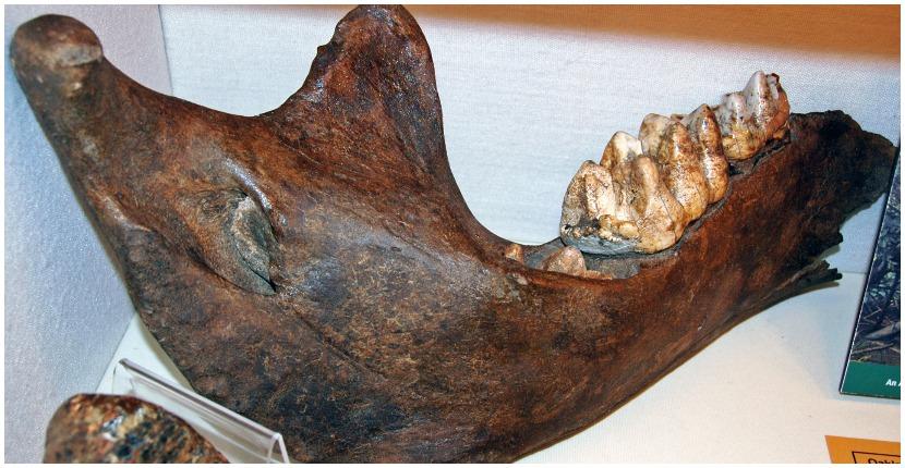 Mastodon jawbone. Photo by James St. John CC BY 2.0