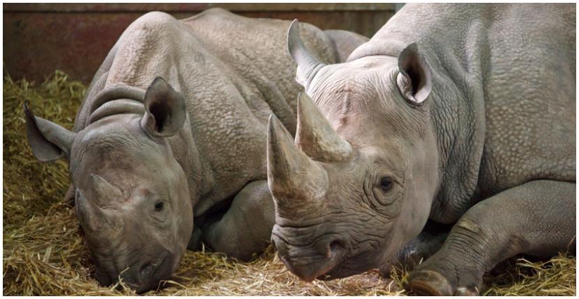 Two white rhinos