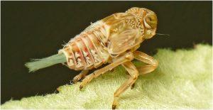Nymph bug
