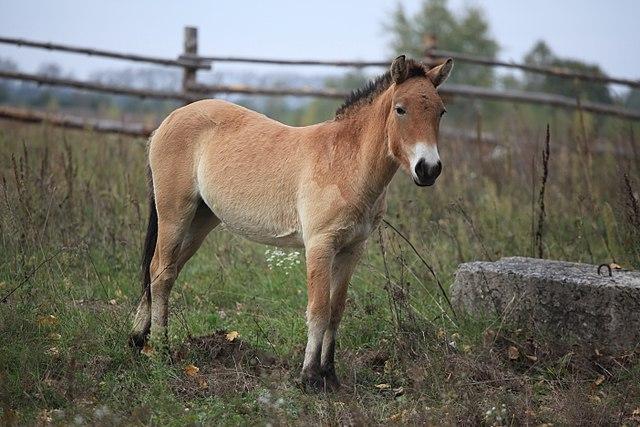 Endangered Przewalski's horse