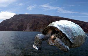 Fernandina Island giant tortoise